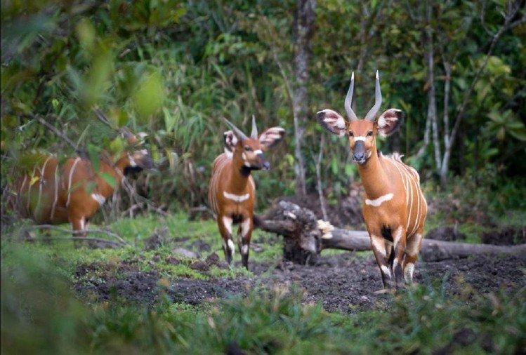 कांगो रेनफॉरेस्ट में मौजूद जानवर